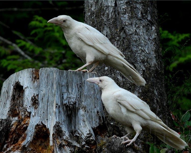 the white crow - photo #14