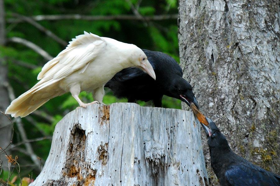 Albino crow - photo#53