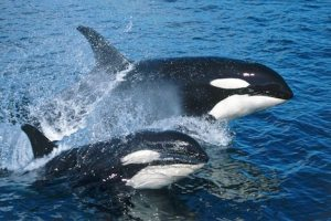 surfing Killer Whales